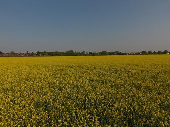 Rapsblüte vor dem Panorama von Köln-Widdersdorf