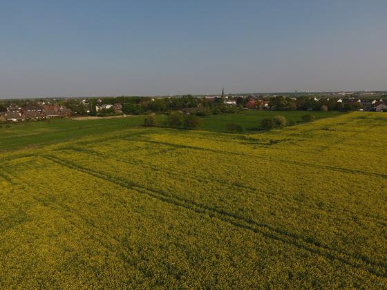 Rapsblüte in Köln-Widdersdorf
